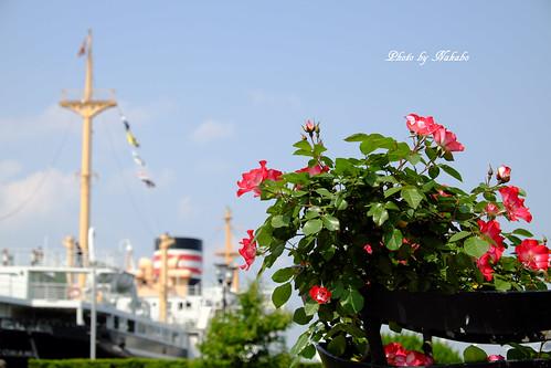 薔薇と氷川丸 -山下公園-