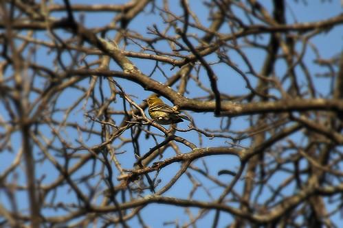 IMG_5341_Pine_Warbler