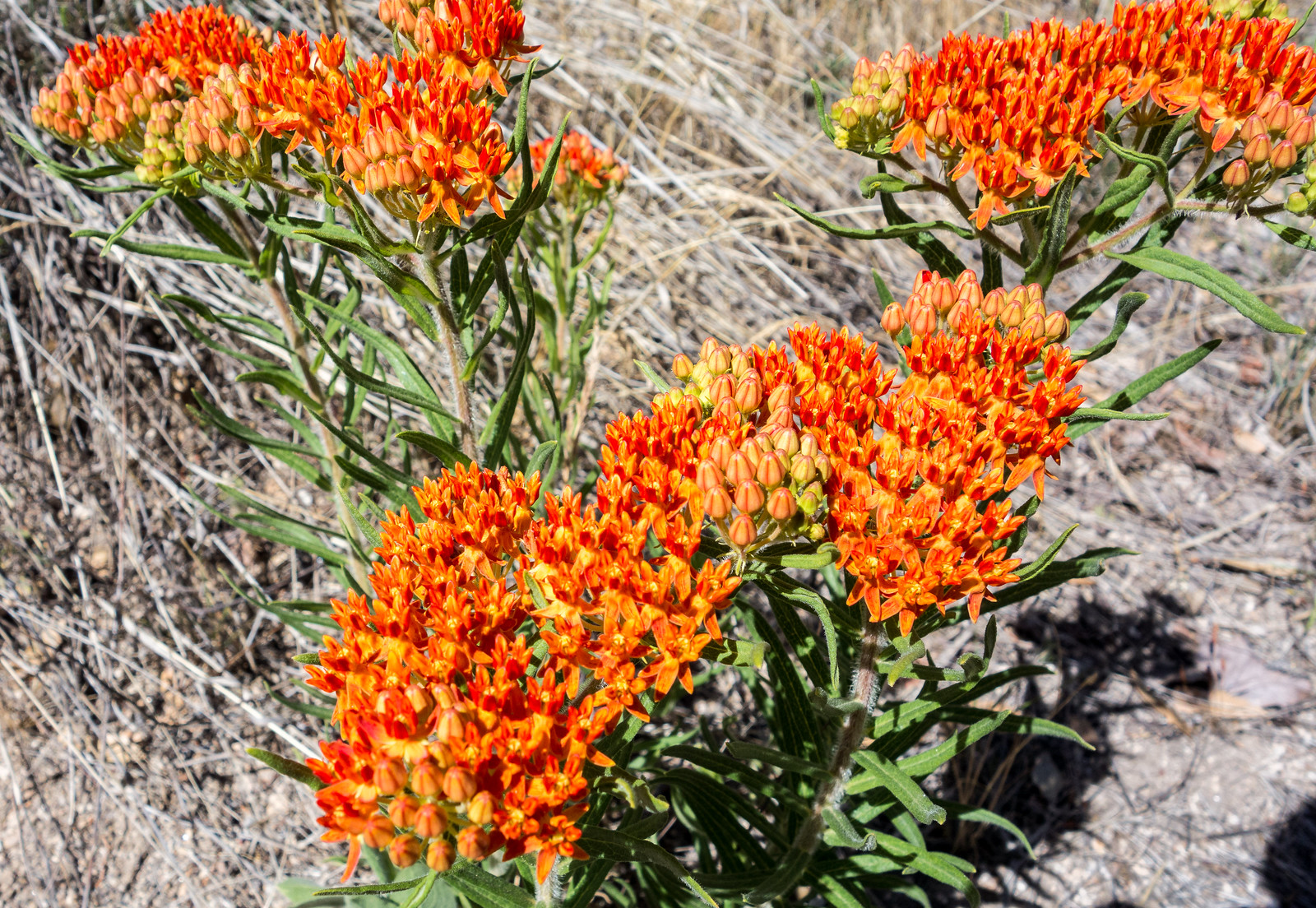 1505 Butterfly Weed