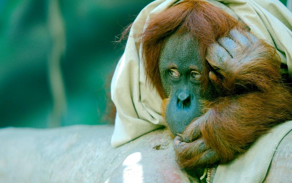 Orangutan_1