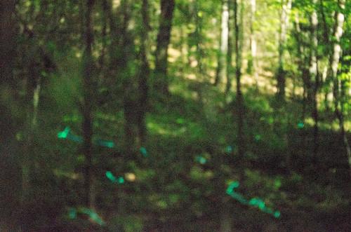 Blue Ghost Fireflies-7