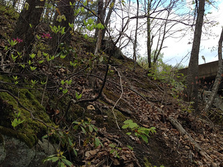 Rhododendron periclymenoides and Kalmia latifolia on a steep acidic northwest facing oak hickory forest slope below Fullerton rd, Accotink, 4-23-15 | by FritzFlohrReynolds