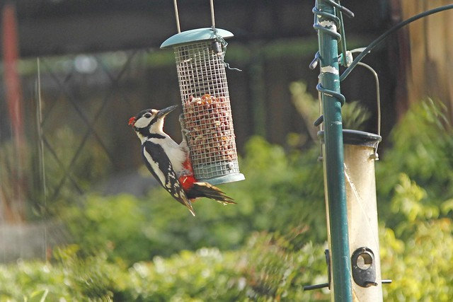 Woodpecker having a tea time snack!