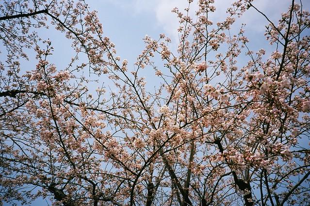 今年の桜2 MINOLTA TC-1 + Kodak Ektar100