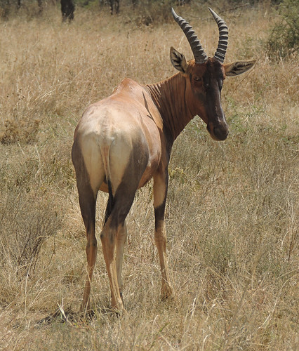Tanzania Safari, Topi and Oryx