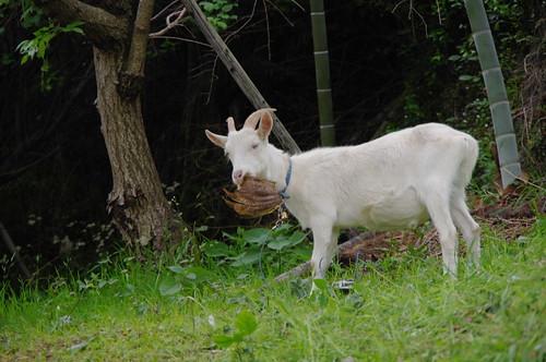 タケノコの皮を食べるヤギ
