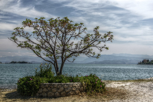 Corfu -  Gouvia - Indian bean tree by the harbour