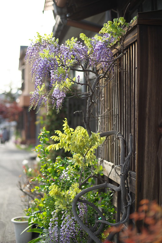 東京路地裏散歩 藤 2015年4月18日