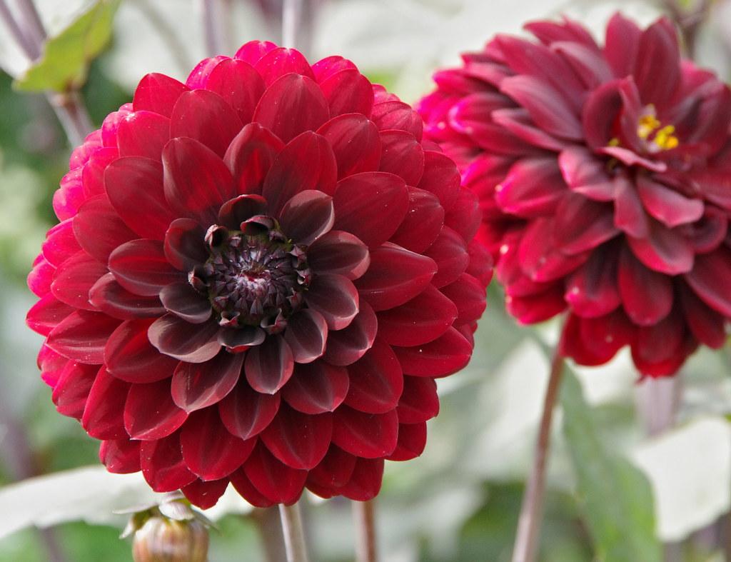 Dahlia Karma Choc I Like Dark Red Flowers Badly Drawn Dad