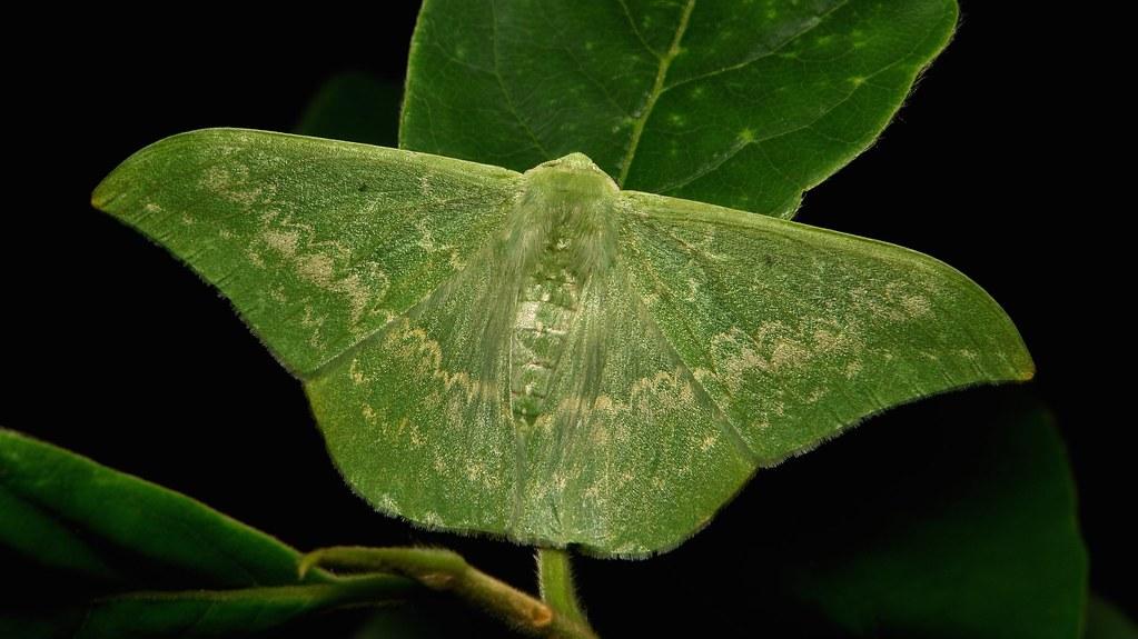 Geometrid Moth (Tanaorhinus reciprocatus, Geometrinae, Geometridae)