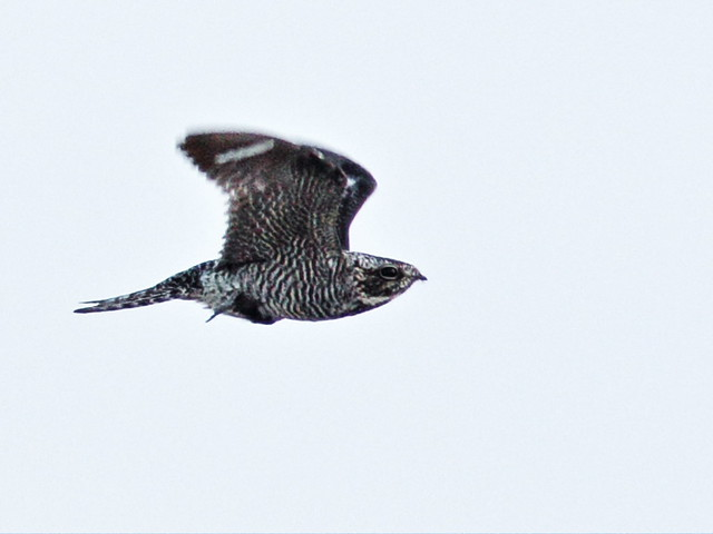 Common Nighthawk 20150526