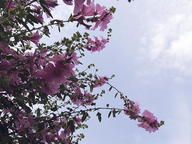 Summer flowers blooms hollyhocks.