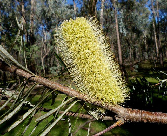 Banksia marginata N Blair