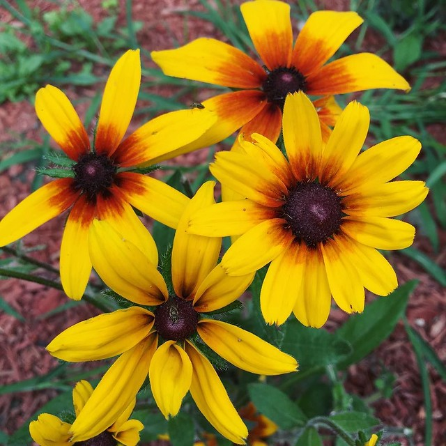 My only #rudbeckia to survive the woodchucks. 🌻🐻🐻🐻