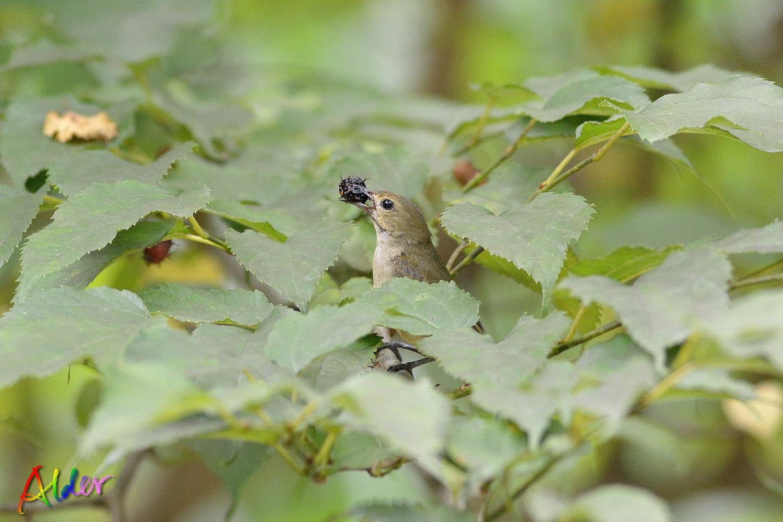 Plain_Flowerpecker_3530