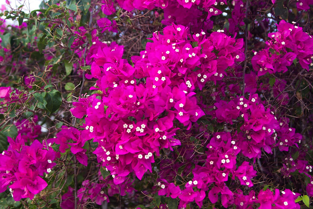 pretty flowers in Jamaica