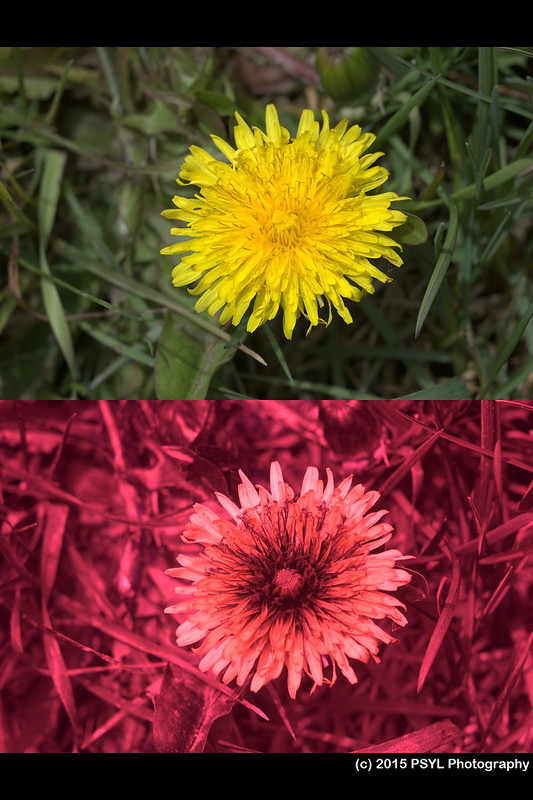 Taraxacum officinale (visible and UV)