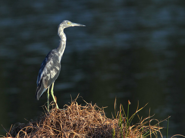 Little Blue Heron HDR 03-20160726