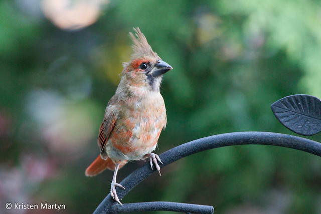 Northern Cardinal (Cardinalis cardinalis)- Young Male