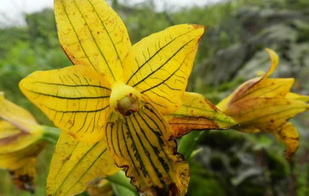 orquidea-peru