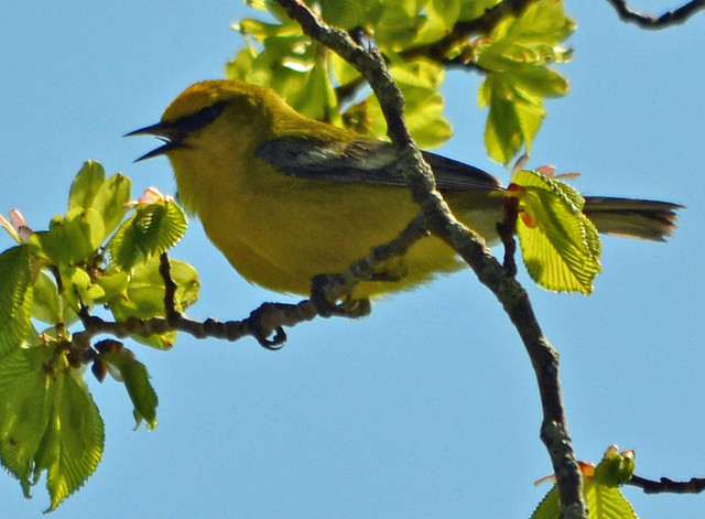 DSC_5340 Blue-winged Warbler (Vermivora cyanoptera ) FRENCHBORO Maine MAY29 2015 MJGood