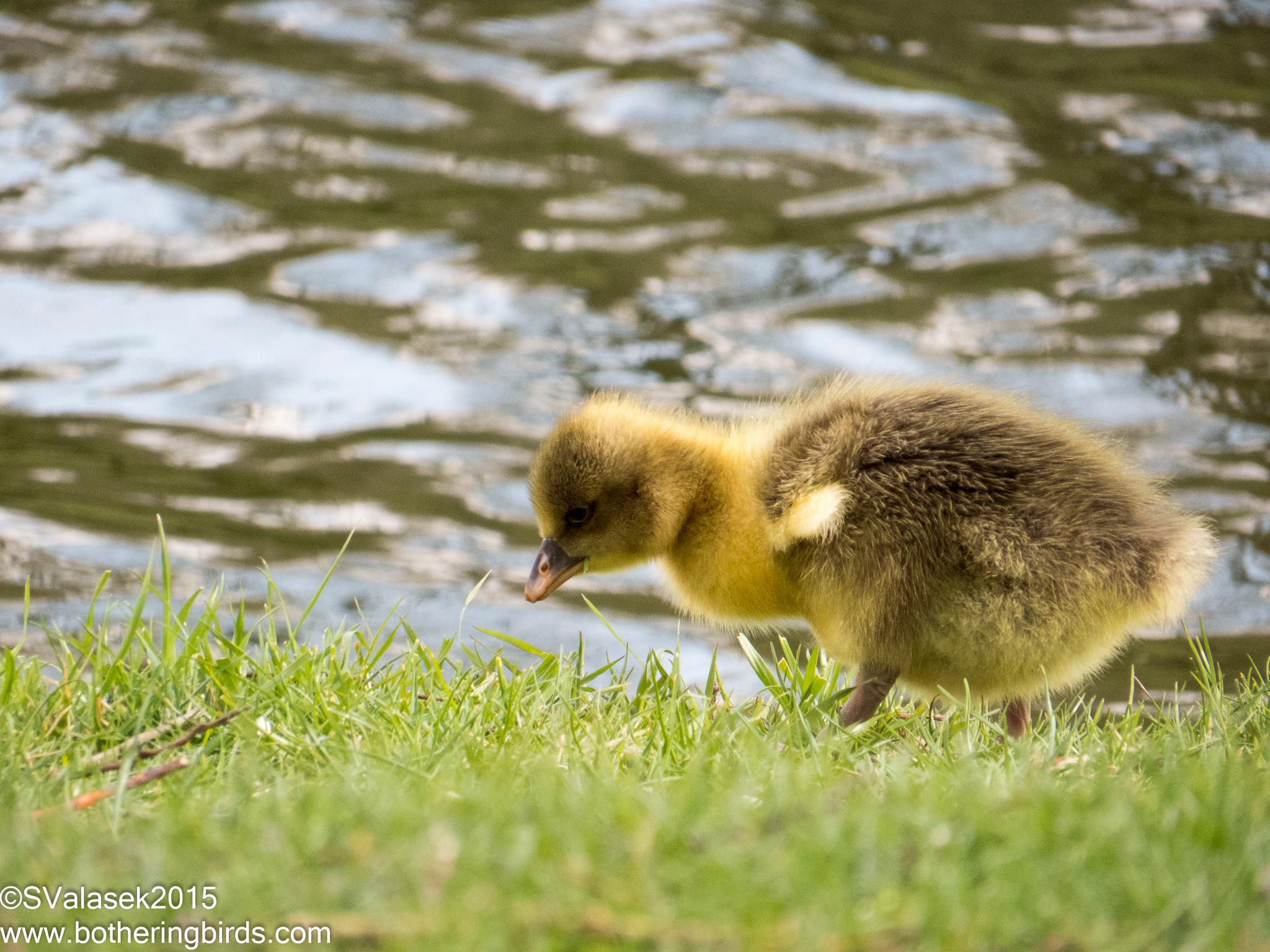 Graylag Gosling