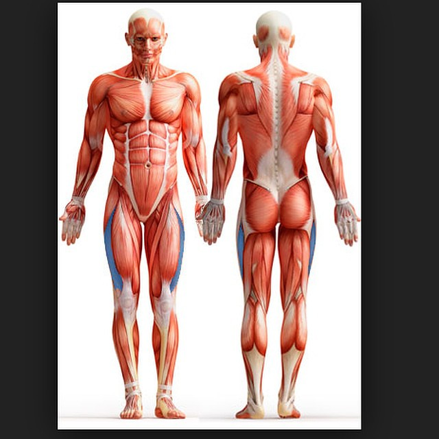 Vastuslateralis Muscles Anatomi Anatomy Human Anterior Gym Fitness