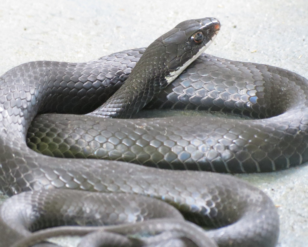 Florida Black Snake Rat Or Racer This Visitor Was About