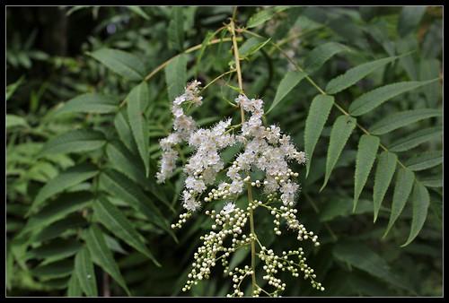 Sorbaria sorbifolia (3)