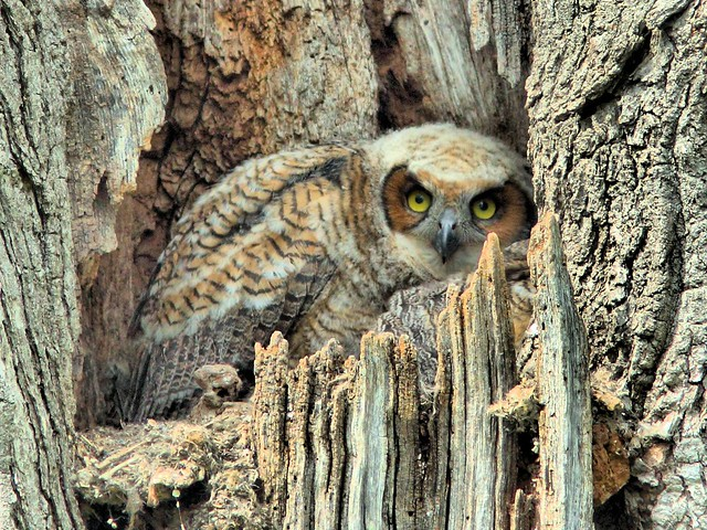 GHO owlet HDR 20150507