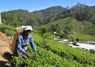 Woman working in tea plantation | by phuong.sg@gmail.com