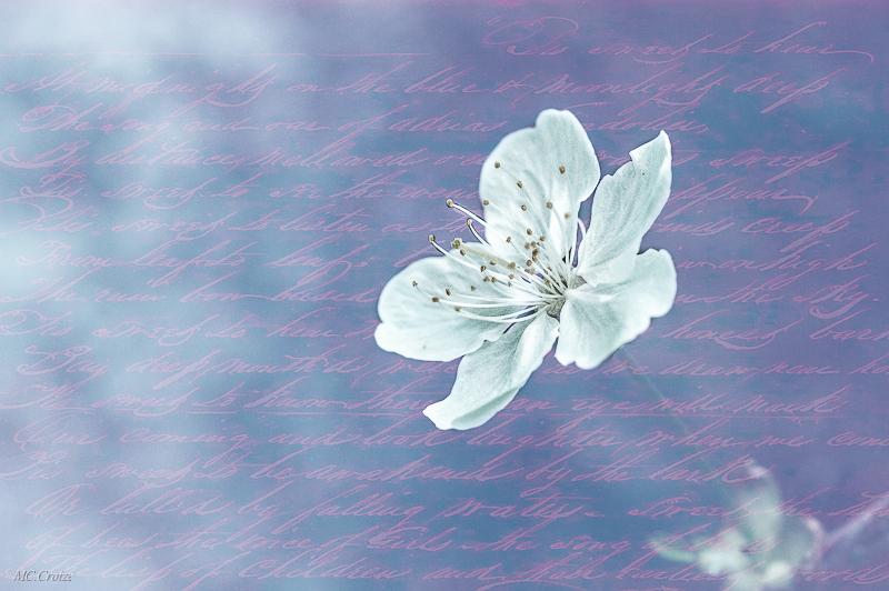 Fleur de cerisier + ajout 17288977012_1aa9924332_o