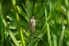 Female Scorpion Fly.