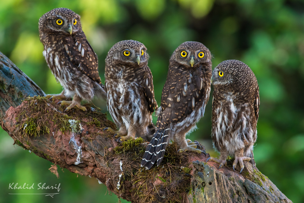 Asian Barred Owlet (Glaucidium cuculoides) 鸺鹠 xiū liú