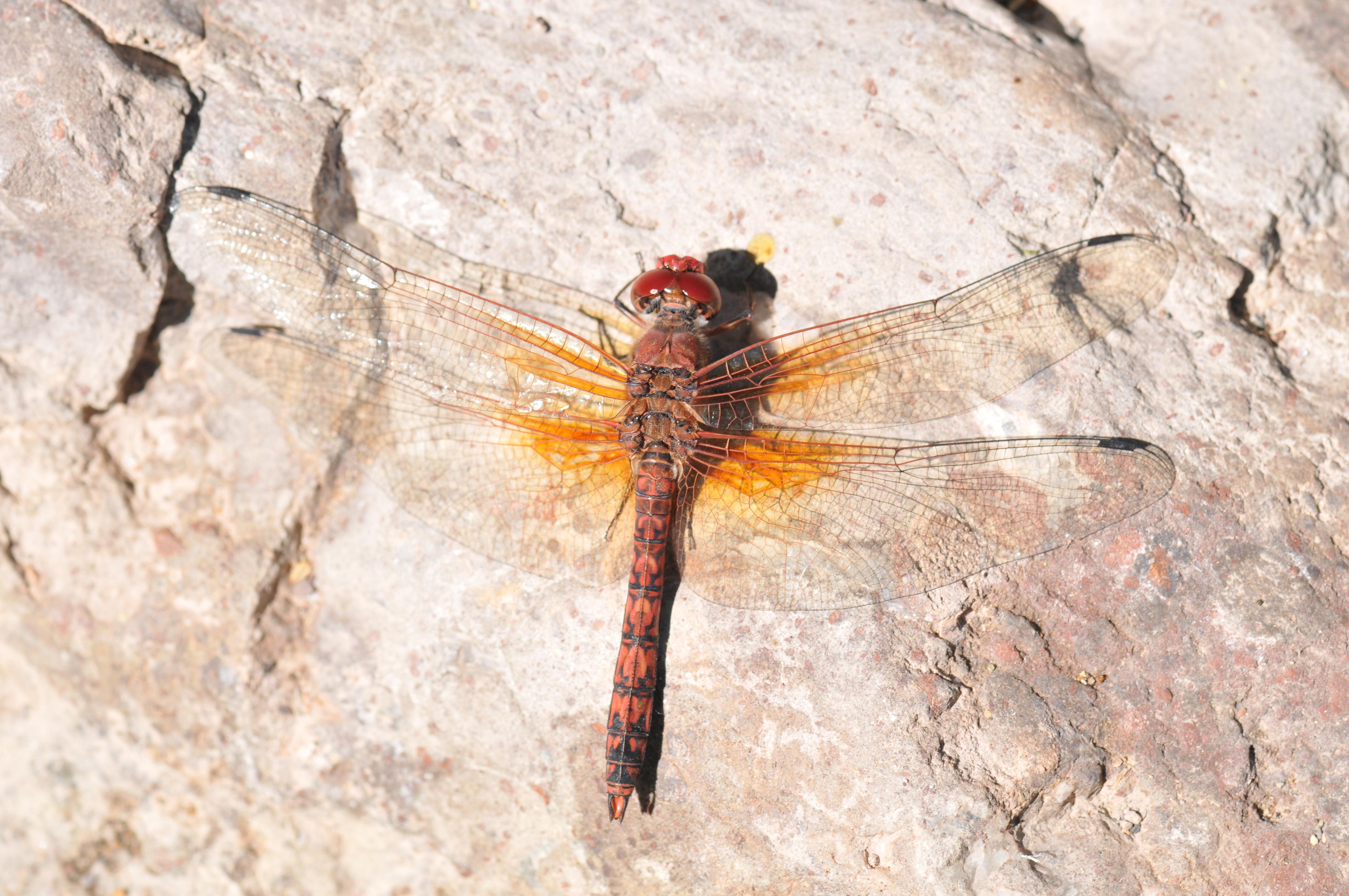 Red Rock Skimmer