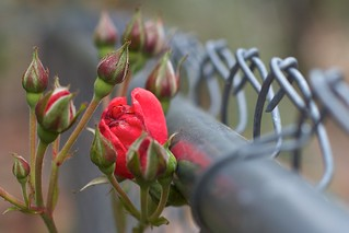 Roses Along the Fence | by cogdogblog