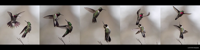 Broad-tailed Hummingbirds (Selasphorus platycercus)