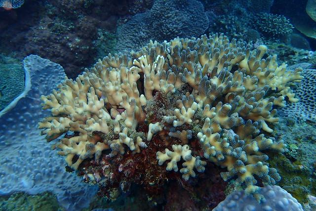 墾丁海域白化柱珊瑚(陳昭倫 攝)