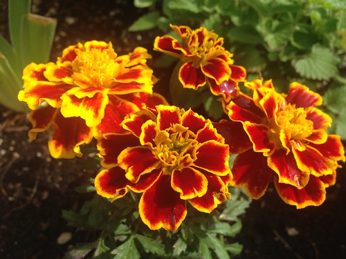 Gold and red marigolds are the best.