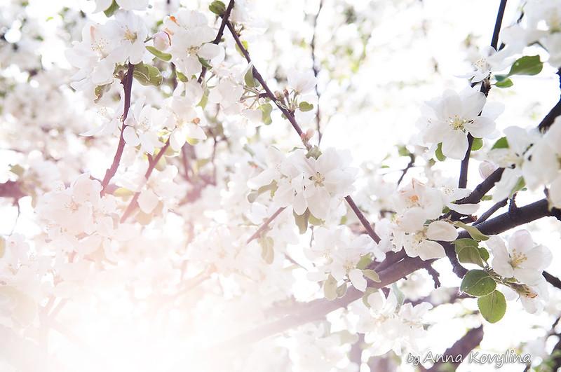 spring flowers apple blossom by Anna Kovylina
