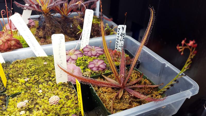 Drosera adelae giant.