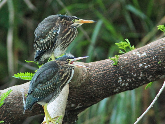 Green Heron fledglings 2-20150529