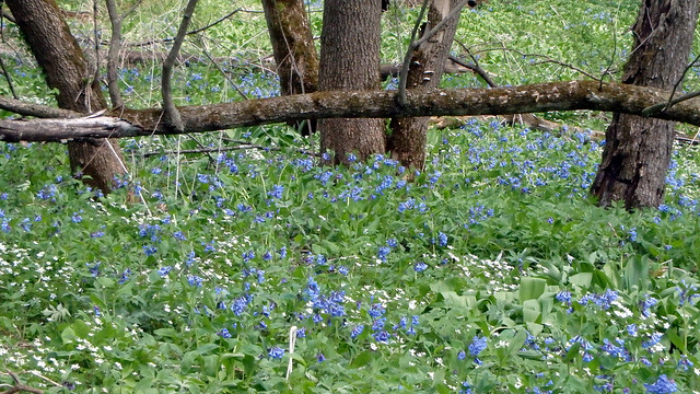 Virginia bluebells and false rue anemone near a fallen tree