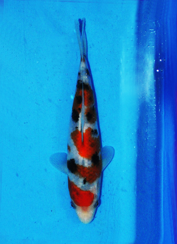Baby Champion German Young Koi Show