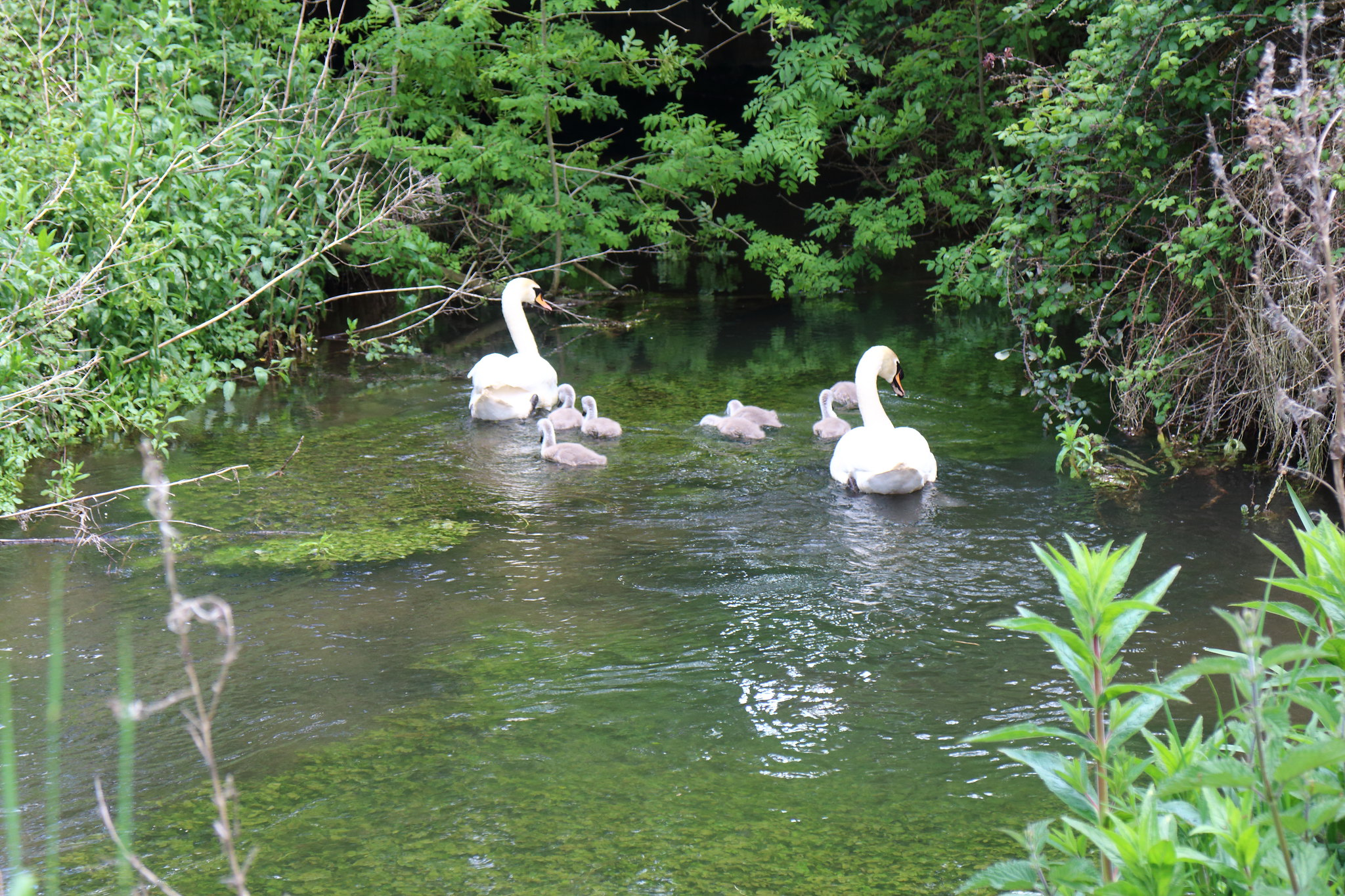 Swans On A Chalk Stream