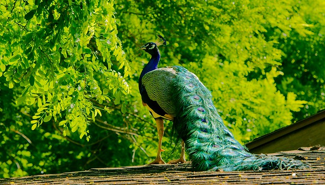 Peacock_4