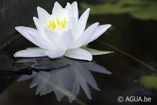 Waterlelie Gladstoniana / Nymphaea Gladstoniana