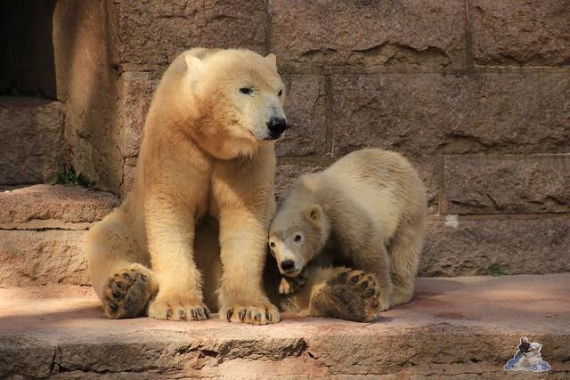 Eisbär Fiete im Zoo Rostock 23.05.2015 145