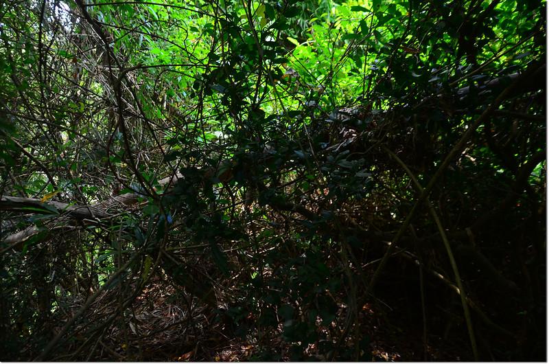 山豹山登頂前藤蔓阻隔