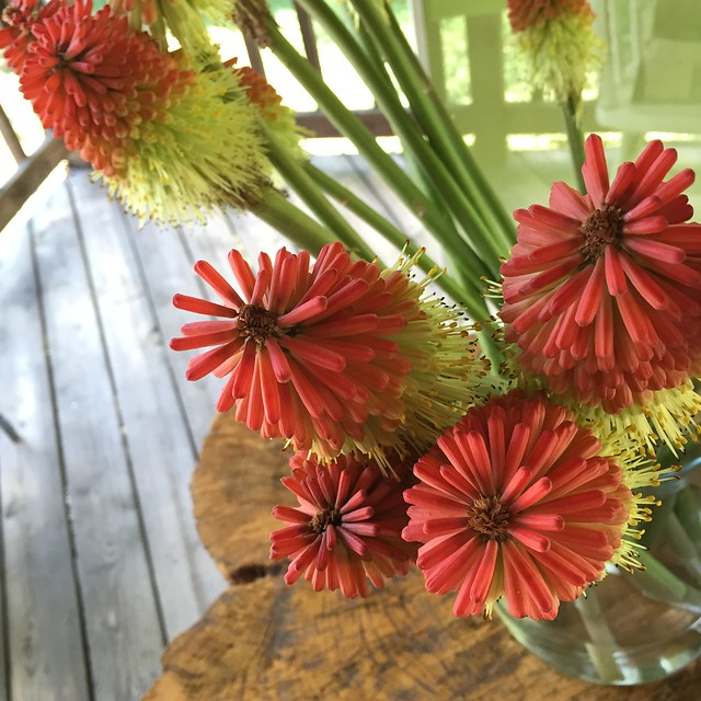 fire poker flowers
